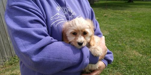 Cavapoo Puppy for Sale - Adoption, Rescue for Sale in Loomis