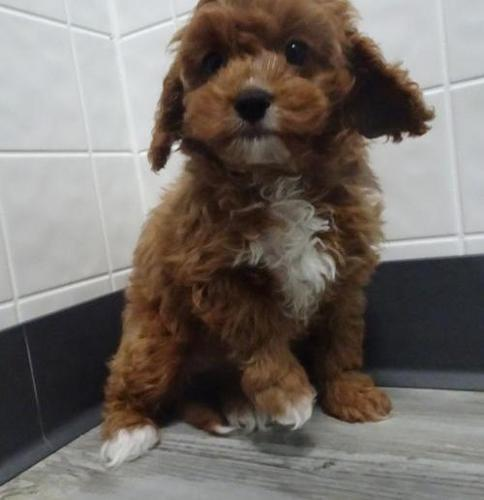 Cavapoo Puppy for Sale - Adoption, Rescue for Sale in Clare