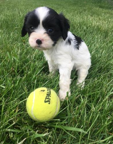 Cavapoo Puppy for Sale - Adoption, Rescue for Sale in West