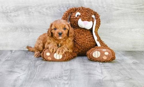 Cavapoo Puppy for Sale - Adoption, Rescue