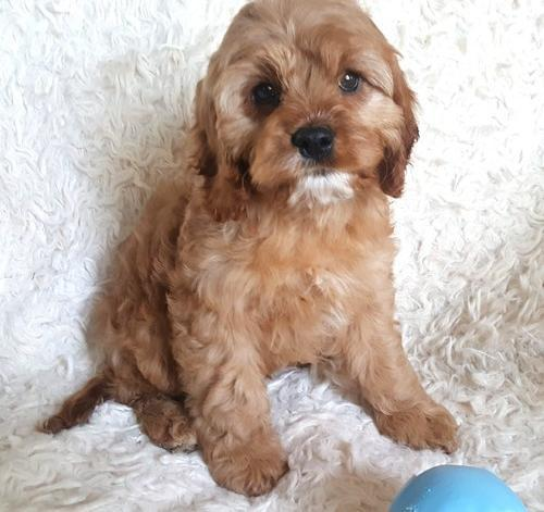 Cavapoo Puppy for Sale - Adoption, Rescue