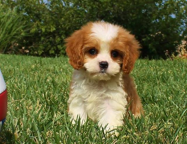CavaPoo Puppy for Sale in San Diego - So Cute!