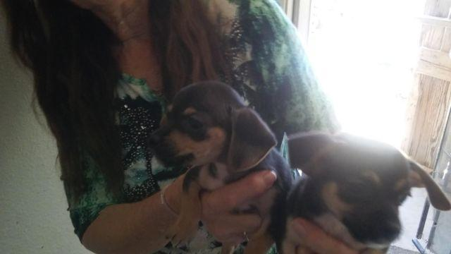 Cavlier mix with teacup Chihuhua puppies