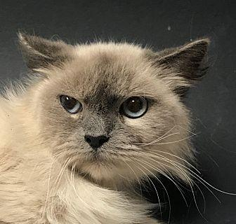 Ceasar Tonkinese Adult Male