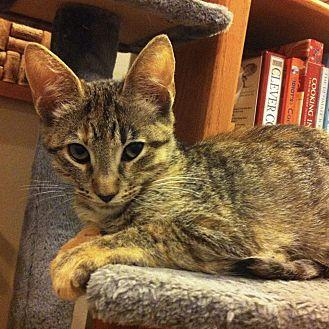 Cece Domestic Shorthair Kitten Female