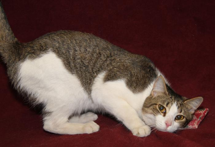 Cedric (Neutered) Tabby Young - Adoption, Rescue for Sale in ...