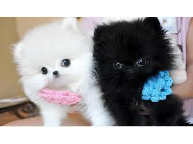 Teacup Pomeranian Puppies Female Pets And Animals For Sale In The