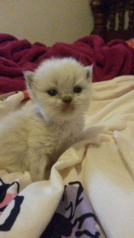 cfa adorable persian kittens