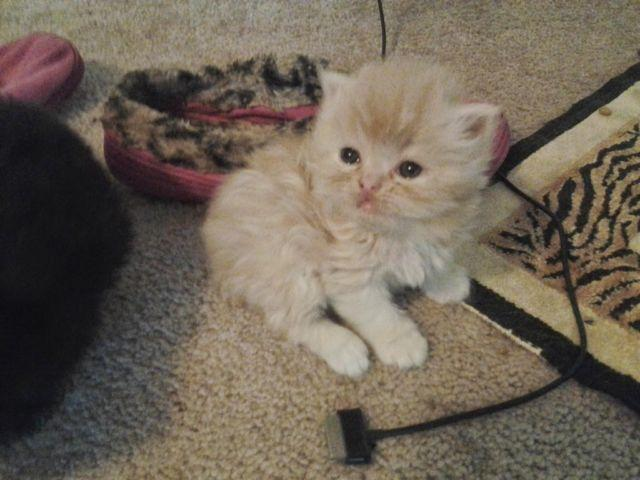 CFA adorable persian kittens