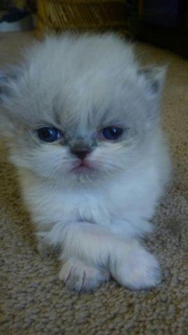CFA bicolored and standard Himalayan kittens