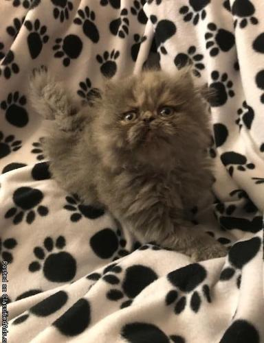 CFA BLUE-CREAM FEMALE PERSIAN KITTEN