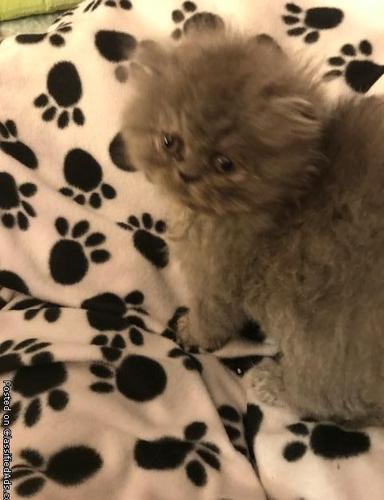 CFA BLUE MALE PERSIAN KITTEN