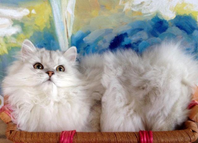 CFA CHINCHILLA SILVER PERSIAN