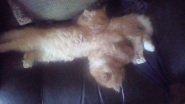 Persian kittens for sale portland oregon