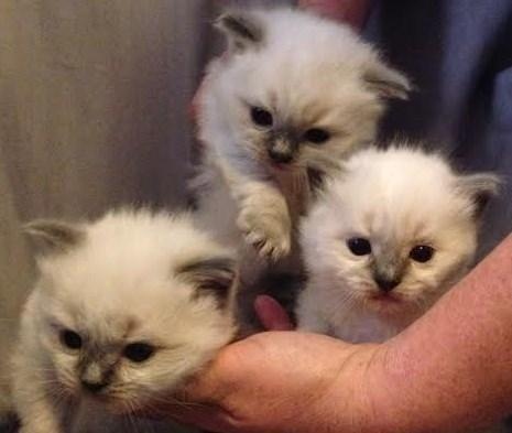 CFA Grand Champion Lines Ragdoll Kittens Ready For
