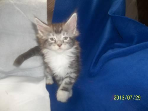 CFA Maine Coon Champion lines for Sale in Seabrook, New Hampshire Classified | AmericanListed.com