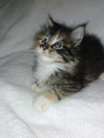balinese kittens for sale near me