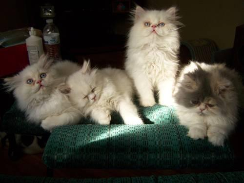 CFA persian himalayan kittens
