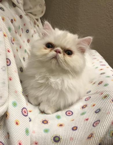 Cfa Persian Kittens For Sale In Paducah Kentucky Classified Americanlisted Com