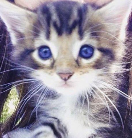Cfa Reg Maine Coon Kittens For Sale In Natural Steps Arkansas Classified Americanlisted Com