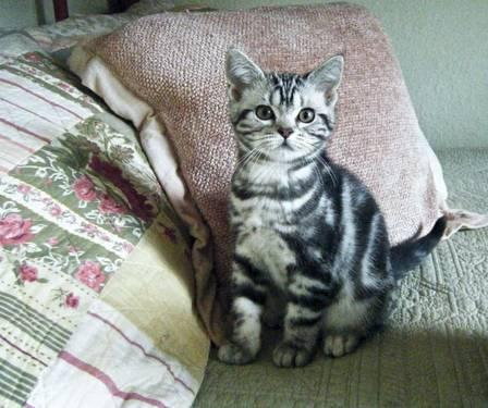 CFA Registered American Shorthair Kittens - Silver