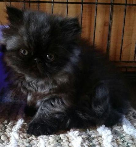 Cfa Registered Black Smoke Persian Kittens For Sale In Nashville Tennessee Classified Americanlisted Com