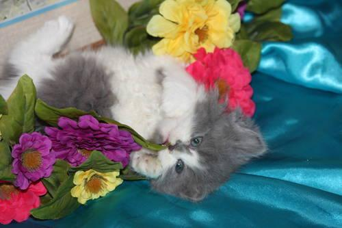 CFA Registered Doll Face Persian Kittens *** for Sale in North Vernon ...