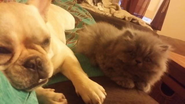 Persian kittens for sale in evansville indiana