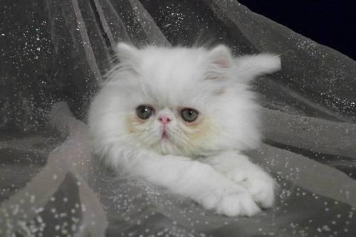 CFA Registered Persian Kitten