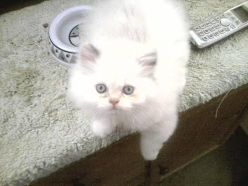 CFA Registered Persian Kittens For Sale In Belden, New