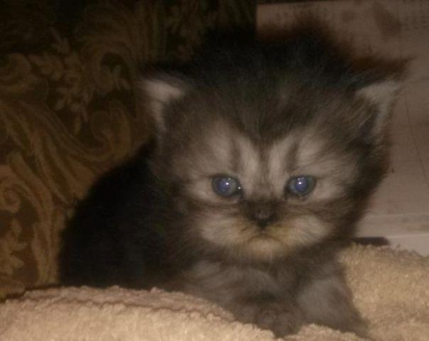 Cfa Registered Persian Kittens For Sale In Memphis Tennessee Classified Americanlisted Com