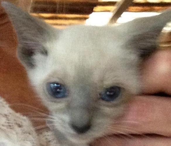 CFA Siamese Kittens Blue Point /Females