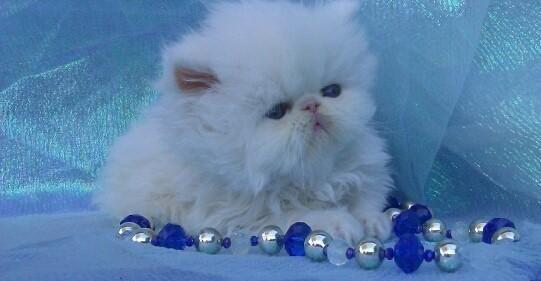 CFA SOLID WHITE EXOTIC LH ( PERSIAN ) DEPOSIT WILL HOLD