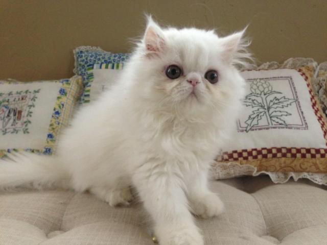 free sphynx kittens