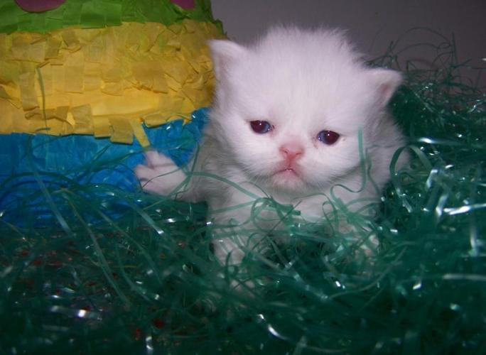 Blue Kittens For Sale : Teacup puppies pets and animals for sale in stroudsburg