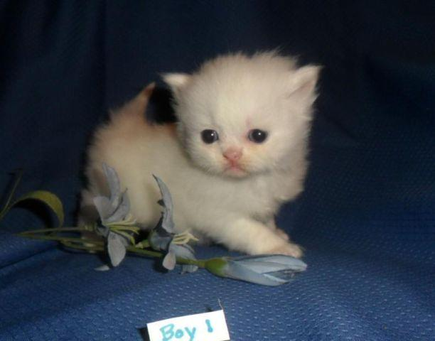 Missouri cat breeders himalayas / Ada coin prediction 500
