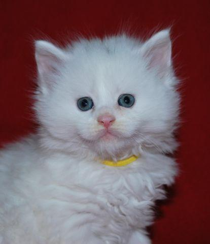 Cfa White Female Maine Coon Kitten European Lines Ready December 27th For Sale In Eatonton