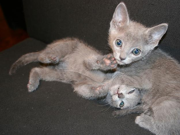 CFA/ TICA Russian Blue kittens