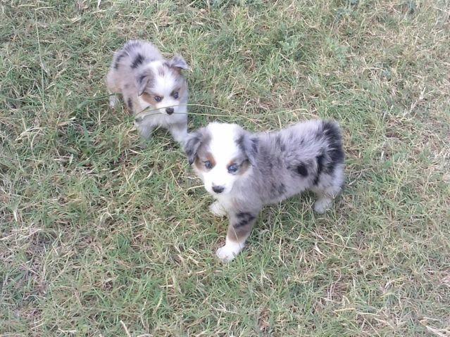 Ch Bloodline Toy Aussie Puppies For Sale In Crowley Texas