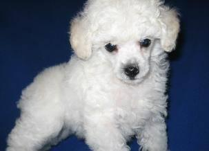 Ch Sired T Cup Poodle For Sale In Cincinnati Ohio