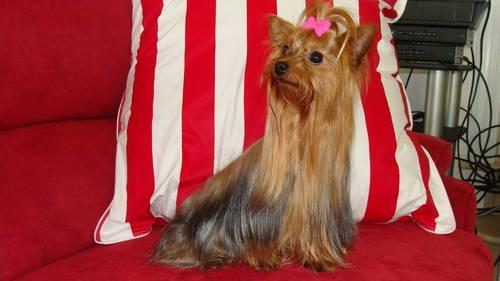 Champion Bloodline Adult Female Yorkie For Sale In Callands