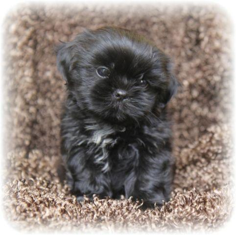 CHAMPION BLOODLINE CKC BLACK SHIH TZU MALE READY