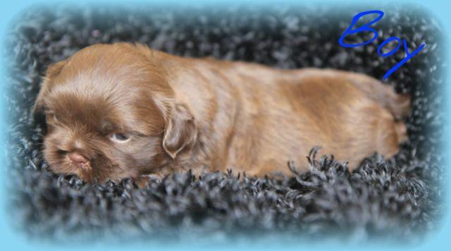 Champion bloodline Ckc chocolate shih tzu male