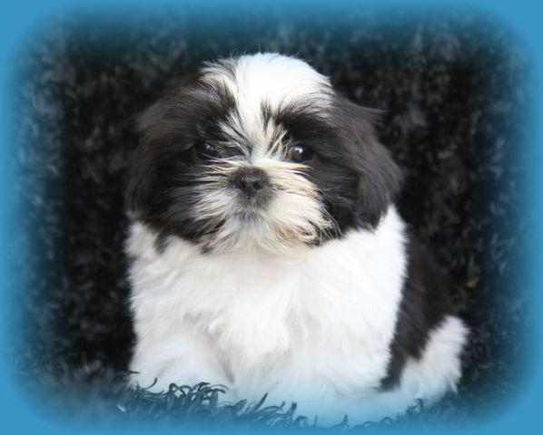Champion bloodline Ckc shih tzu puppies ready now!!!