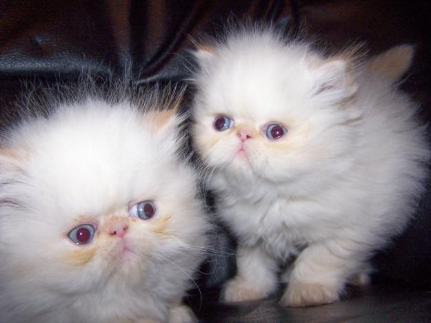 Himalayan Cats For Sale In Pa
