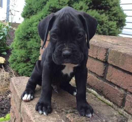 Champion bloodlines AKC Boxer puppy male, copper