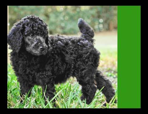 Champion Bloodlines! AKC Standard Poodle Pups (8 weeks)