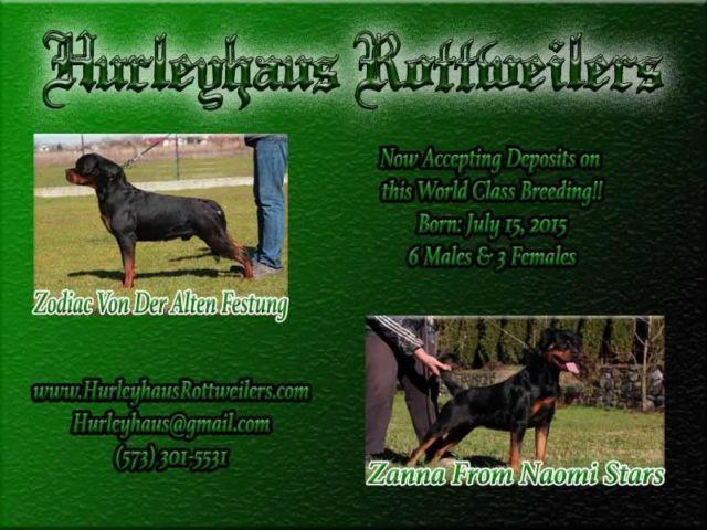 Champion European Import Rottweiler Puppies For Sale In Holts Summit