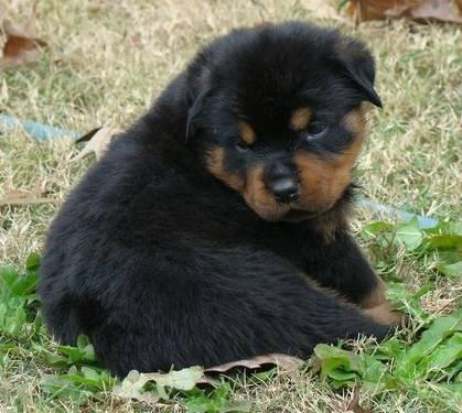 champion import rottweiler puppies
