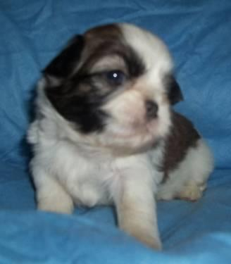 Champion Line Shih Tzu Puppies